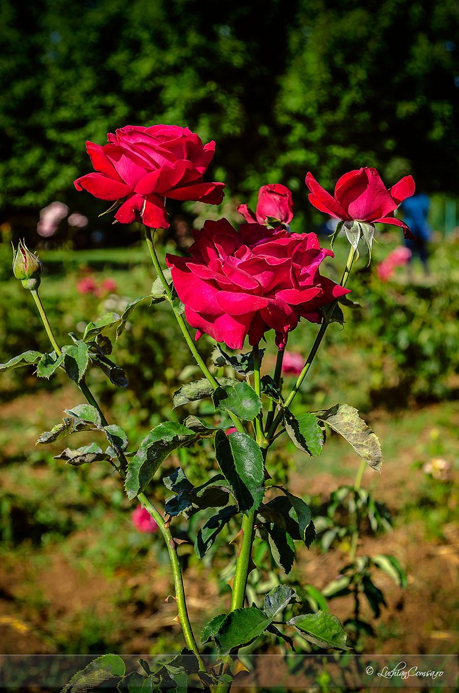 Mandra floare, trandafir!